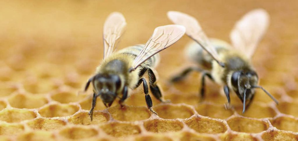 Jalea real el regalo de las abejas